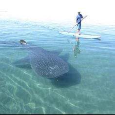 Paddle board over a whale shark