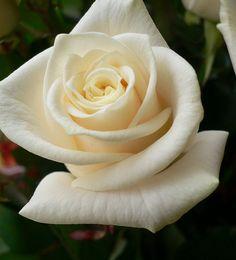 Rose - Bela rosa branca; by Luigi Strano FDV, via Flickr