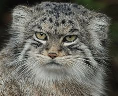 About twelve million years ago the manul was one of the first two modern cats to evolve and it hasn't changed since