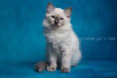 2016: Arya A Zwollywood Cat. 13 Weeks old. Ragdoll kitten, blue colourpoint. Eragon litter.
