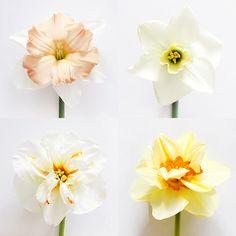 Apricot Whirl, Misty Glen, Broadway Star, and Tahiti daffodils