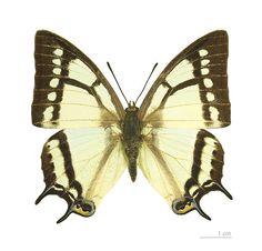 Fruhstorfer butterfly