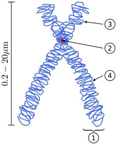 When is DNA considered a chromosome? What is a sister chromatid? The article unravels some of the lingo of DNA. Molecular Biology, Science Biology, Science Education, Personalized Medicine, Dna Results, Dna Test, Microbiology, Mobile Wallpaper, Genetics