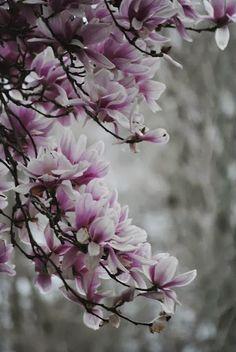 Il nome #Magnolia è stato attribuito da Charles Plumier, in onore di Pierre Magnol (Montpellier, 1638-1715) medico e botanico francese, direttore del giardino botanico di Montpellier, che introdusse la nozione di famiglia nella classificazione botanica.. I semi della magnoli hanno proprietà febbrifughe.  Le resine aromatiche presenti nella corteccia di vantano un'azione anti-reumatica,  anti-infiammatoria ed anti-asmatiche.