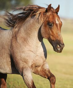 Quarter Horse stallion Metallic Cat