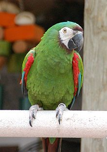 ****The Chestnut-fronted Macaw or Severe Macaw (Ara severus) is one of the largest of the Mini-Macaws. It reaches a size of around 45cm (18in)... 50 years