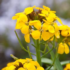 Erysimum 'Cheers Lemon' (Wallflower)