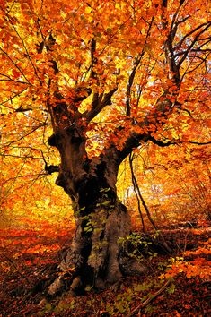 Sunsword & Moonsabre  Fire | Tree in the fire of fall colors