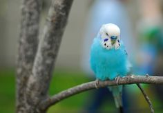 The Beauty of the Budgerigar: Colors, Mutations, and More | budgerigar