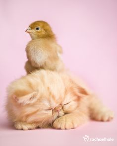 Pudding (Persian) - A wise bird will only cheep when the kitten is asleep (pic by Rachael Hale)