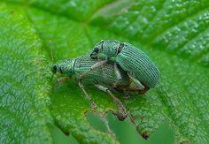 Parende snuitkevers