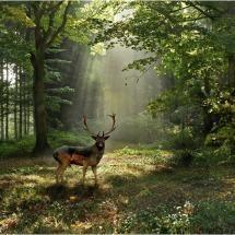 beautiful fallow deer in forest