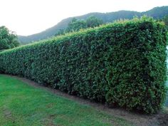 Garden hedges provide more than just structure and privacy – they can also reward you with edible fruits and leaves. Consider these varieties of fast growing fruit bearing hedge trees, and other fragrant hedging plants for the ultimate edible hedge. Leylandii Hedge, Rose Hedge, Hedge Trees, Trees To Plant, Front Yard Garden Design, Herb Garden Design, Garden Landscape Design, Garden Ideas, House Landscape
