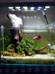 A perfect aquarium setup for one Betta fish. A perfect aquarium setup for one Betta fish. Planted Aquarium, Aquarium Terrarium, Saltwater Aquarium, Aquarium Fish Tank, Freshwater Aquarium, Aquarium Aquascape, Saltwater Tank, Terrariums, Turtle Aquarium