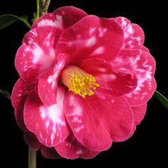 Camellia japonica 'Masayoshi' AKA 'Donckelarii' (Japan, 1788)