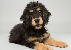 bernese mountain dog poodle mix breeders