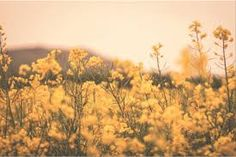 Image result for yellow flower field tumblr