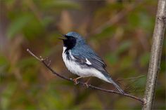 Black Throated Blue Warbler Backyard Birds, Photos, Blue, Animals, Beautiful, Pictures, Animales, Animaux, Animal