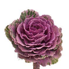 Kale Purple and Green Fresh Flower
