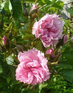 rosa grootendorst