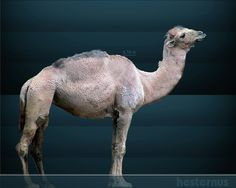 Camelops is an extinct genus of camel that once roamed western North America, where it disappeared at the end of the Pleistocene about 10,000 years ago. It was very closely related to the Old World Dromedary and Bactrian Camel in anatomical form. Because soft tissues are generally not preserved in the fossil record, it is not certain if Camelops possessed a hump, like modern camels, or lacked one, like its modern llama relatives. Camelops hesternus was 7 ft (2.1 m) tall at the shoulder…