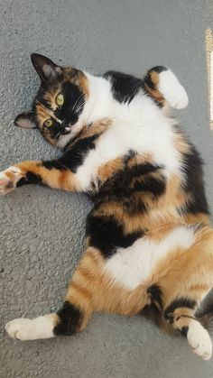 My pretty baby Athena! My pretty baby Athena! Cute Cats And Kittens, I Love Cats, Crazy Cats, Cool Cats, Kittens Cutest, Ragdoll Kittens, Tabby Cats, Funny Kittens, Bengal Cats