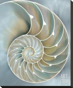 Nautilus in Blue II Stretched Canvas Print by Caroline Kelly at Art.com
