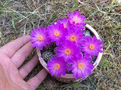 Mammillaria saboae ssp. haudeana
