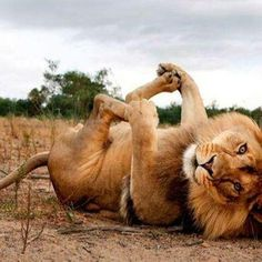 playful lion in happy baby pose!! ;)