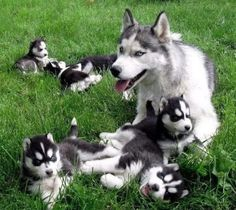 Siberian Husky Mom with her Puppies.