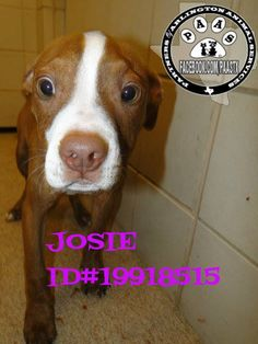 JOSIE  DH 412 ID#19918515  4 month old Female Juvenile unaltered Pit mix Red/White 21 lbs. expected adult size: Medium TO ADOPT: PLEASE VISIT Arlington Animal Services, 1000 SE Green Oaks, Arlington, Texas 76018 Shelter hours: Weekdays (10-6), Saturdays (10-4). Closed Sundays.AAS-Approved Rescue Groups with a 501c3 may rescue animals on the euthanasia list without cost. TO RESCUE, EMAIL: NSanimalrescue@arlingtontx.gov Double click picture to go to original post. PLEASE SHARE!