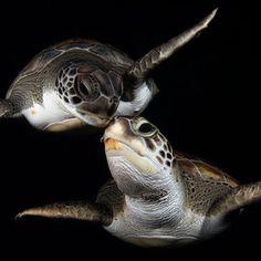 Sea turtle love. www.flowcheck.es taller de equipos de buceo #buceo #scuba #dive
