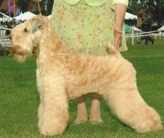 Beautiful wheaten!