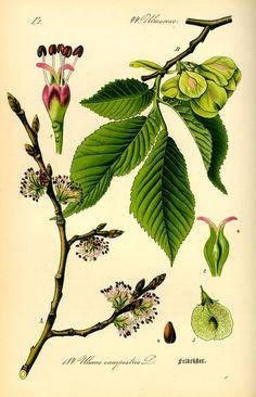 Lundalm är en växtart i familjen almväxter.