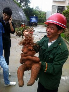 Quite a handful: Farmer Mr Zhang holds up the Homer-shaped fleece flower root which was dug up to be used in a traditional Chinese medicine Funny Vegetables, Veggies, Princess Kitchen, Bulbous Nose, Shape Sort, Funny Fruit, Weird Plants, Creative Food Art