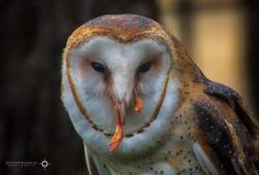 Foto: Whooooo Me? What... did you want some?  One happy barn owl as he was eating a treat. Yes, this shot may not be for everyone, but owls gotta eat.  #BarnOwl  #CircleOfLife  #FoodChain  #LunchIsServed  #birds  #birdphotography  #birdsgallery  #birdsinfocus  #birds4all  #hqspbirds #BTPBirdPro – +BTP Bird Pro . owned by +Nancy Dempsey ,curated by +Lynn Wiezycki #photooftheday  #Canon