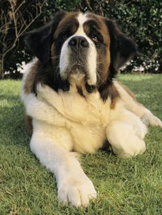 Portrait of a Saint Bernard Dog Stampa fotografica