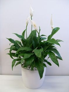"Top Ten Hard-to-Kill Houseplants: #4 Peace Lily (Spathiphyllum) // From an infographic on FB - source unknown: Could be called the ""clean-all"". Often placed in bathrooms or laundry rooms because they're known for removing mold spores. Also known to remove formaldehyde and tricholoroethylene."