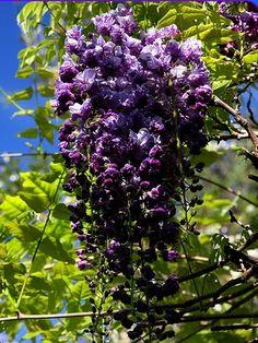 Beautiful Climbing Plants On Pinterest Morning Glories