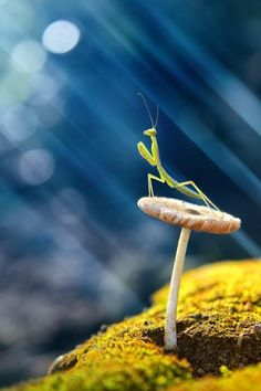 by © Budi 'Ccline'  Praying Mantis