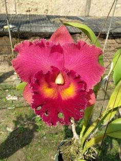 Exotic Flowers, Beautiful Flowers, Orchid Flowers, Red Orchids, Cattleya Orchid, Real Beauty, Beautiful Gardens, Mother Nature, Planting Flowers