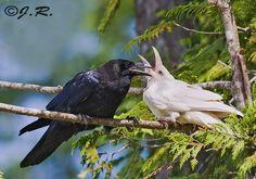 Black Animals, Animals And Pets, Cute Animals, Nature Film, Gemini, White Raven, Crow Bird, Raven Art, Crows Ravens
