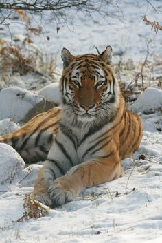 'Amur Tiger - Yuri' ~ Photo by Rob_Brooks Beautiful Cats, Animals Beautiful, Big Cats, Cats And Kittens, Animals And Pets, Cute Animals, Wild Animals, Baby Animals, Tiger Species