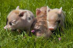 Mini Pigs | Micro/Mini Pigs For Sale
