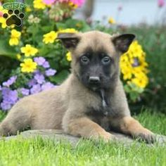Belgian Malinois Puppies For Sale Greenfield Puppies In 2020 Malinois Puppies Belgian Malinois Puppies Puppies For Sale