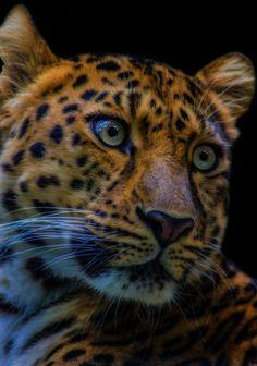 dark Amurleopard - -