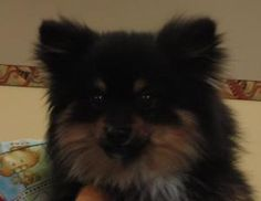 Roscoe is an adoptable Pomeranian Dog in Grand Island, NE. Hello! My name is Roscoe! I am a cute, adorable little ball of fluff! I was found wandering outside of Alda, but some nice people brought me ...