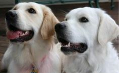 White English Cream Golden Retriever Dogs are so happy!