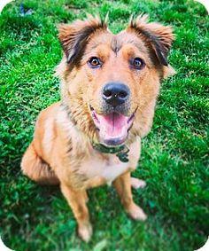 Memphis, TN - Golden Retriever/Chow Chow Mix. Meet Hetty, a dog for adoption. http://www.adoptapet.com/pet/17776064-memphis-tennessee-golden-retriever-mix
