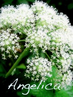 Angelica in Magic.      Angelica is excellent to use for protection against negative energy. It can be used in purification and uncrossing spells. Use Angelica in herbal baths for the purpose of removing curses, hexes, or spells. Sprinkle Angelica around the outside of your home for protection. Angelica is also a herb for healing and for helping you to find inspiration.
